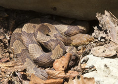 Copperhead 1 (nicoangleys) Tags: maryland herping snakes copperhead