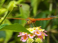 infraganti (alex bedoya) Tags: mariposas flores jardin primavera tropico