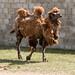 Primeiro camelo de duas corcovas que vimos