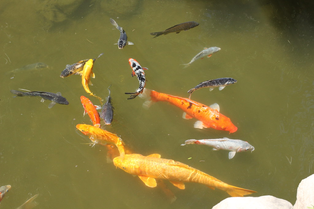 The world 39 s most recently posted photos of japanese and for Koi fish culture