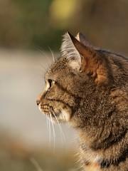 Détourner les yeux ** (Titole) Tags: cat kat chat profile gato katze gatto gaïa unanimouswinner friendlychallenges thechallengefactory titole nicolefaton