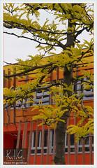 WU Campus 1020 Wien, Gleditsia 'Sunburst' | 2014-05 (Brigitte Rieser) Tags: vienna wien park publicspace campus austria sunburst parc freiraum gleditsia wirtschaftsuniversitt triancanthos wucampus universityofeconomicalsciences