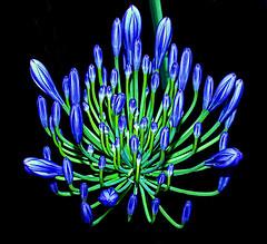 Sapphire' chandelier (shumpei_sano_exp3) Tags: blue golddragon platinumphoto aplusphoto ysplix theunforgettablepictures theunforgettablepicture goldstaraward fabulouscapture awesomeblossoms