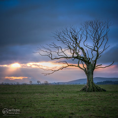Lone Sunset Tree (wilsn photographics) Tags: sunset england tree field northumberland lone bluehour lonetree 2014 wilsonphotographics