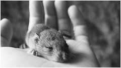 Raymond (gioiabox) Tags: baby animal mouse rodent rat little bb petite sourie rongeur