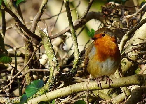 Robin, Bull Coppy Wood, Gilstead