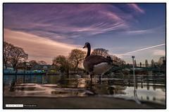 150108_161032 (Snappist) Tags: thames river flood riverthames twickenham eelpieisland