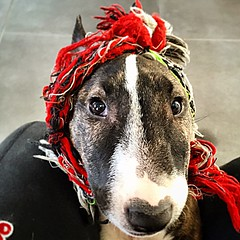 Jingle in the Mix the real bully dog (batiste.egido) Tags: dog chien bullterrier iphone babydog inthemix molosse fashiondog iphone6plus