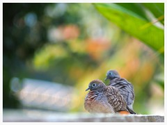 นกเขาคู่รัก