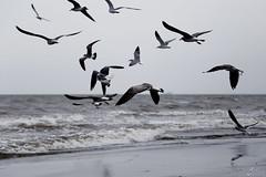 aves (betho itinerante) Tags: color libertad mar playa viento cielo alas nubes contraste olas volando volar altocontraste