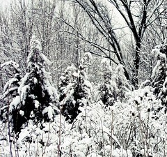 Deep Into Winter (Demmer S) Tags: trees winter blackandwhite bw plants white snow plant cold tree nature monochrome forest botanical outside outdoors blackwhite woods seasons snowy branches seasonal covered botanic treebranches wintery covering blackwhitephoto arboreal blackwhitephotos