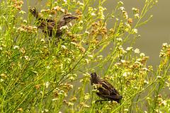 Triles (Seba Silva) Tags: chile bird nature animals sony aves 300mm alpha cartagena silva sebastin a57 humedal sonyalpha trile varillero thilius sebastinsilva 55300mm agelasticus sonyminolta sonya57 slta57 sal55300