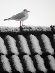 gull (Mattijsje) Tags: roof bw white snow black bird rooftop zwartwit gull meeuw zw