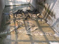 Crocodile Farm in Vietnam