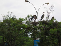 Marabou Storks Kampala