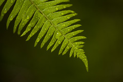 Forest setting with close-ups of ferns (Jim Corwin's PhotoStream) Tags: plants plant detail green texture nature wet water beautiful beauty horizontal closeup forest sunrise outdoors photography dewdrops leaf spring day natural environmental tranquility nobody drop symmetry growth dew simplicity vegetation pacificnorthwest environment balance waterdroplets tranquil naturalworld mothernature moisture textured freshness springtime bladeofgrass newlife selectivefocus greengrass tranquilscene waterbeads beadsofwater naturalpatterns naturalpattern fragility macrolense beautyinnature lushfoliage forestsettiong
