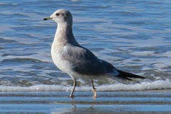 Mew Gull (Larus canus) (ekroc101) Tags: birds bc tofino mewgull larusbrachyrhynchus