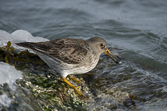 Purple Sandpiper (santosh_shanmuga) Tags: ocean new light lighthouse bird nature animal nikon purple wildlife calidris nj aves jersey sandpiper barnegat shorebird d3s