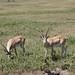 more gazelles
