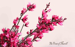 The First of March (tmattioni) Tags: pink flowers march spring firstday meteorologicalspring