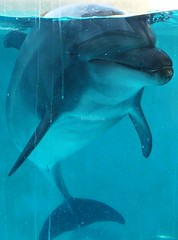 Observing (EmilyOrca) Tags: dolphin