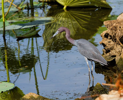 Little Blue Heron (Mike Matney Photography) Tags: 2016 canon eos7d horseshoelake illinois july midwest bird birds egrets herons nature wildlife littleblueheron lily