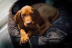 Laszlo (rmccarthy.photo) Tags: dog puppy aww