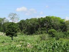 milpa y selva (Leirana photobully) Tags: yucatn maz