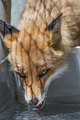 Fox drinking (Tambako the Jaguar) Tags: portrait face drinking tongue water shadow fox red brown canine jonskleinefarm kallnach zoo bern switzerland nikon d4