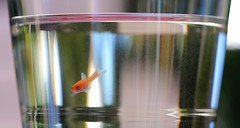 hello world ! (2) (HansHolt) Tags: babyfish fish fry vis visje glass glas pond vijver water reflection reflectie bokeh macro canon 6d canoneos6d canonef100mmf28macrousm