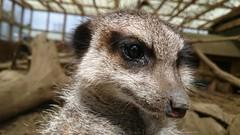 Sad Meerkat (pepemczolz) Tags: sad meerkat compare market insurance cute ponderosa petting zoo animals