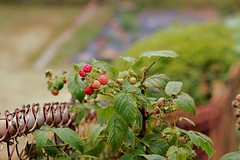 73 (_T_Willi_95) Tags: summer fruit garden michigan growing raspberries photograghy lakeorion canont3i rebelt3i