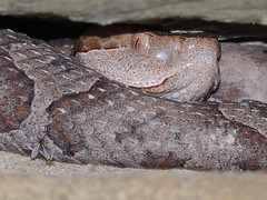 "Copperhead Snake ""s"" (tessanickels) Tags: snake copperhead"