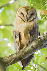 Barn Owl (featherweight2009) Tags: birds raptors owls barnowl birdsofprey tytoalba