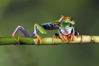 Red-Eyed Tree Frogs, CaptiveLight, Bournemouth, UK