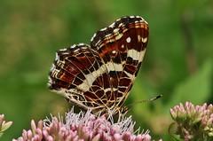 Butterfly (Hugo von Schreck) Tags: hugovonschreck schmetterling falter butterfly macro makro insekt unsect outdoor araschnialevanafprorsa landkrtchen canoneos5dsr tamron28300mmf3563divcpzda010 onlythebestofnature