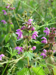 ckuchem-1386 (christine_kuchem) Tags: lamium maculatum taubnessel feldblumen ackerblumen gefleckte