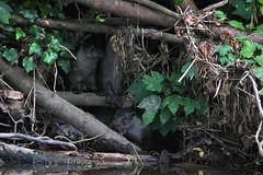 European Otter, Lutra lutra (10) (Geckoo76) Tags: otter lutralutra europeanotter