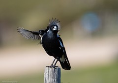 Right behind you! (Mykel46) Tags: 14xtele 500mmf4 canon magpie big birds wildlywagtail capejervis southaustralia australia au