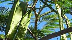 Jacaranda Seed Pods and Blue Sky, Baobab Beach Lodge and Backpackers, Vilanculos, Mozambique (dannymfoster) Tags: africa mozambique vilanculos backpackers baobabbeachbackpackers tree jacaranda jacarandatree