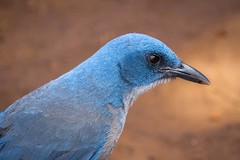 Blue Filigree (gseloff) Tags: mexicanjay bird wildlife profile tollmountaincampsite chisosmountains bigbendnationalpark bbnp texas camping gseloff
