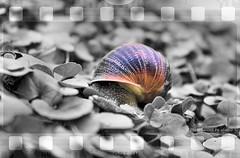 Natura Naturans  (alogico) Tags: snail philosophy natura uno lumaca psicologia psychology chiocciola filosofia psychoanalysis giordanobruno principio causa realt psicoanalisi naturanaturans alogico