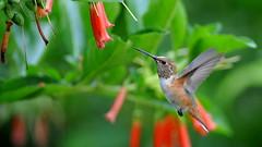 Hummingbird (Doug Santo) Tags: arboretum arcadia hummingbird birds naturephotography