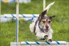 Earls Barton Flyball 12 (Darwinsgift) Tags: dog dogs sport james teams steve tournament event flyball bfa