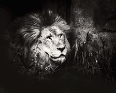 Jonathan (Oliver Leveritt) Tags: nikond610 sigma50500mmf4563apodgoshsm oliverleverittphotography sigmabigmaos bigmaos sigmabigma bigma lion houstonzoo zoo blackandwhite monochrome sepia platinum