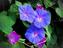 They glow... (Mike Goldberg) Tags: morningglories blossoms vine jerusalemvicinity canong16 effects mikegoldberg hss