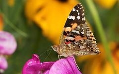 Distelvlinder_Vanessa_cardui2 (bdeclerc) Tags: macro vlinders butterflies lepidoptera