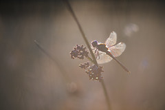 It's time to sleep. (look to see) Tags: bokeh steenrodeheidelibel sympetrumvulgatum libel dragonfly slapend sleeping sintmaartensheide beek bree belgium avond evening lastlight 2016