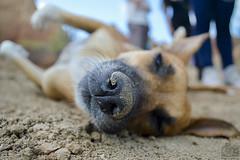 Hocico / Snout (Tato Avila) Tags: snout hocico perro dog animal vida bigotes colombia desierto tatacoa piso