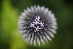 Helios 40 + ZLTii (Caledonia84) Tags: helios 40 zhongyi lens turbo ii raynoxdcr150 botanics glasgow scotland sony a6000 bokeh swirly alpha bee flora dof